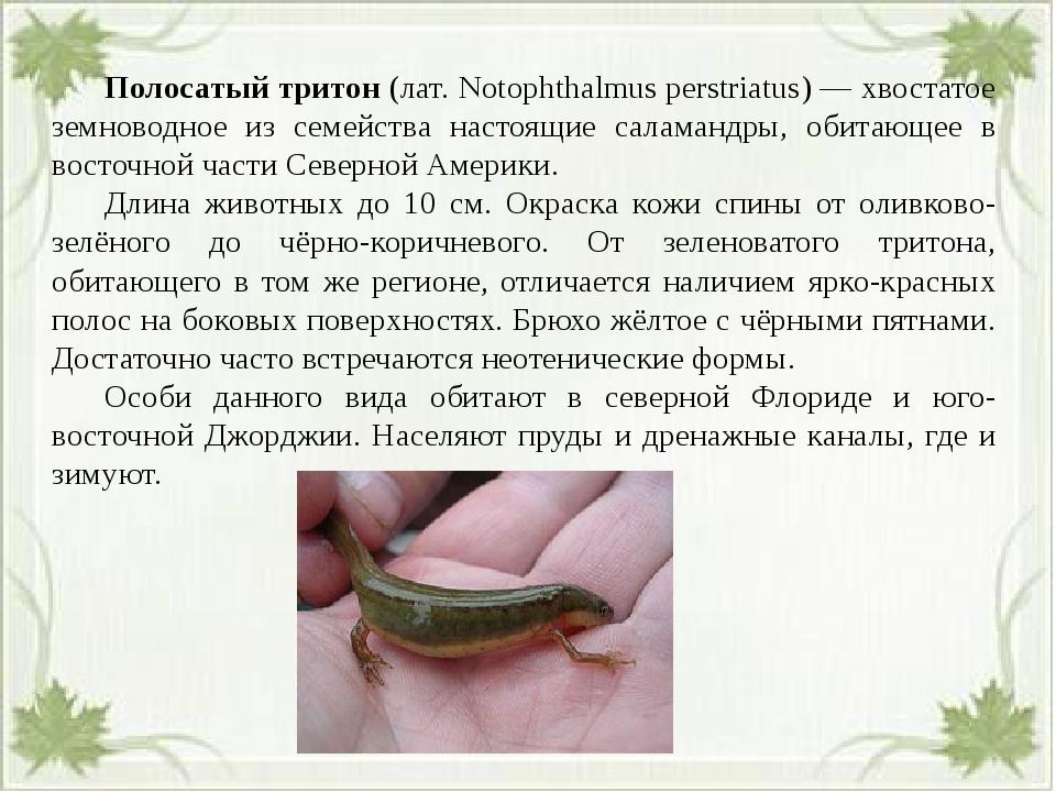Полосатый тритон (лат. Notophthalmus perstriatus) — хвостатое земноводное и...