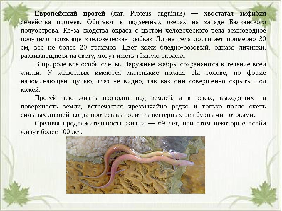 Европейский протей (лат. Proteus anguinus) — хвостатая амфибия семейства пр...