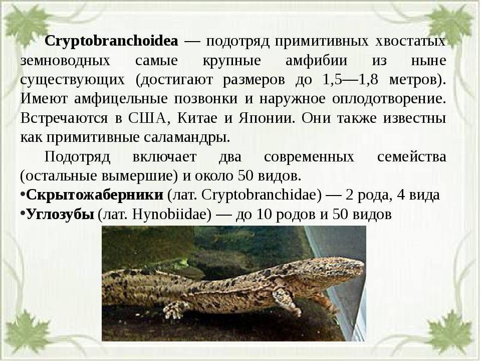 Cryptobranchoidea — подотряд примитивных хвостатых земноводных самые крупны...