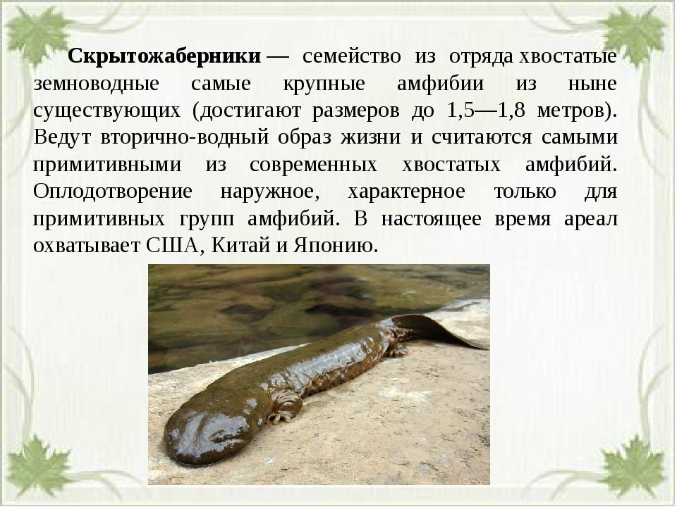 Скрытожаберники— семейство из отрядахвостатые земноводные самые крупные а...
