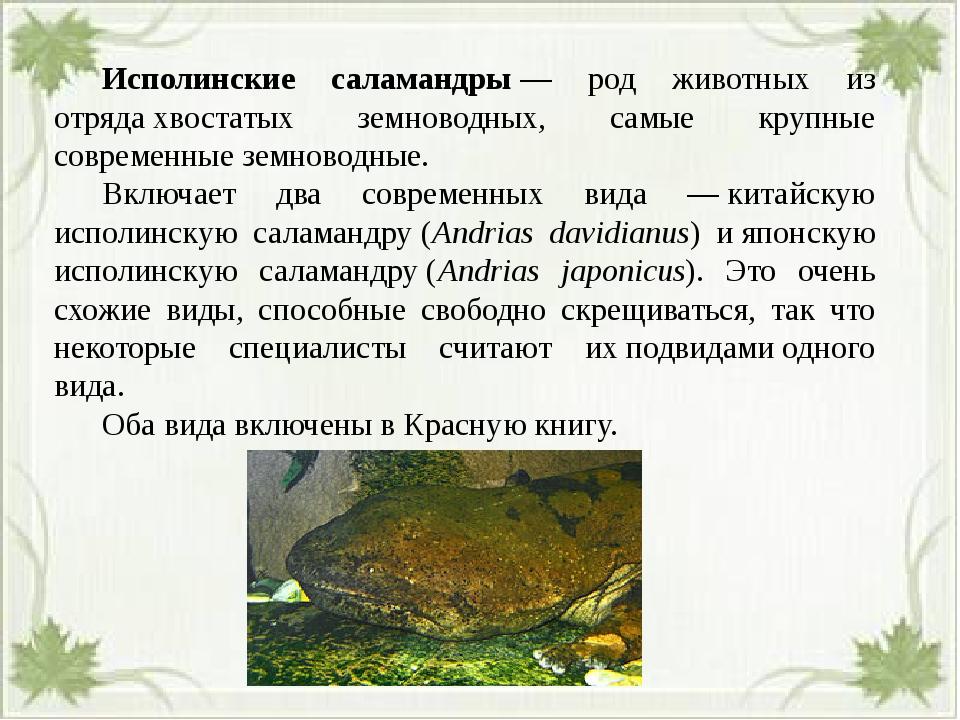 Исполинские саламандры— род животных из отрядахвостатых земноводных, самы...