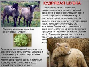 Дома́шняя овца́ – животное одомашненное человеком в глубокой древности, в ос