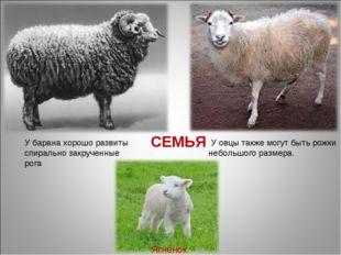 СЕМЬЯ У барана хорошо развиты спирально закрученные рога У овцы также могут б