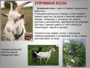 Домашняя коза— одно из первых прирученных животных. У большинства коз есть б