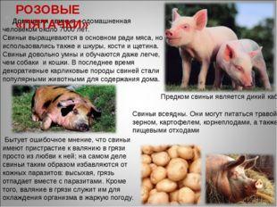 Домашняя свинья—одомашненная человеком около 7000 лет. Свиньи выращиваются в