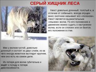 . Их потеря для волка губительна и ведёт к голоду и потере дееспособности. Хв