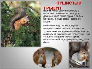 Бе́лка имеет удлинённое тело с пушистым длинным хвостом, уши длинные, цвет те
