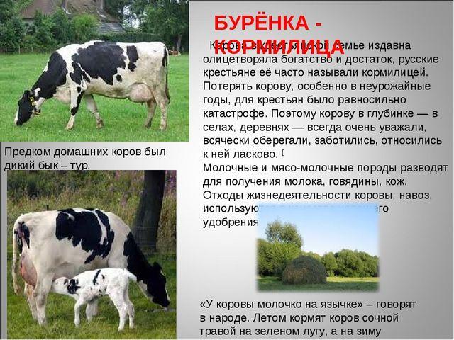 Предком домашних коров был дикий бык – тур. Корова в крестьянской семье издав...