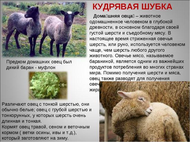 Дома́шняя овца́ – животное одомашненное человеком в глубокой древности, в ос...