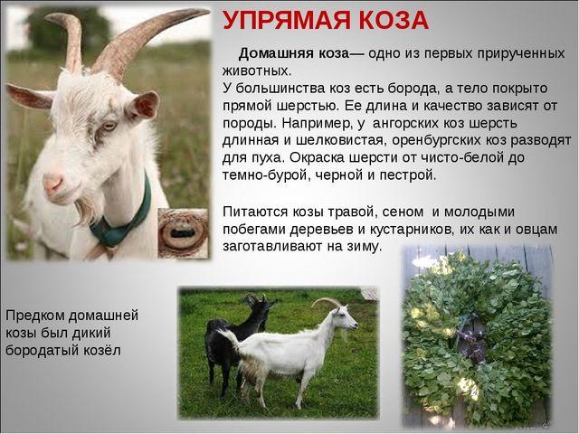 Домашняя коза— одно из первых прирученных животных. У большинства коз есть б...