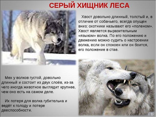 . Их потеря для волка губительна и ведёт к голоду и потере дееспособности. Хв...
