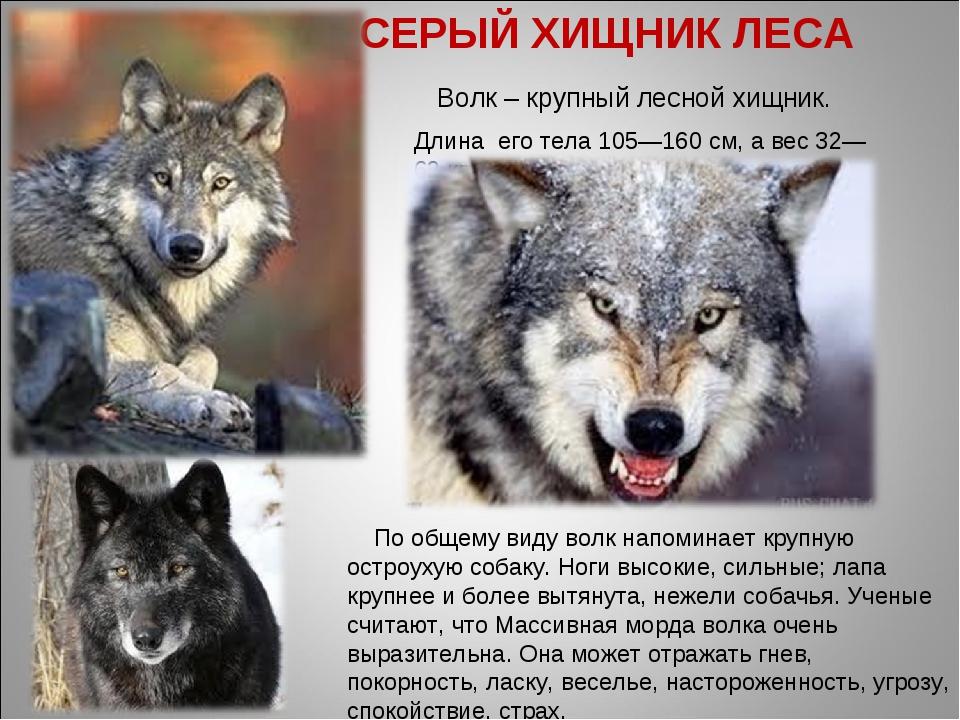 СЕРЫЙ ХИЩНИК ЛЕСА Волк – крупный лесной хищник. Длина его тела 105—160см, а...