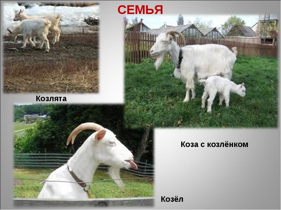 СЕМЬЯ Козёл Коза с козлёнком Козлята