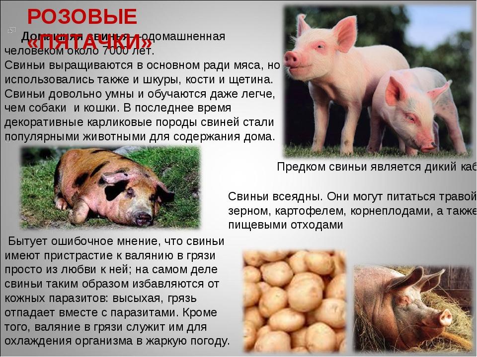 Домашняя свинья—одомашненная человеком около 7000 лет. Свиньи выращиваются в...