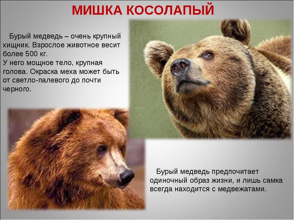 Бурый медведь – очень крупный хищник. Взрослое животное весит более 500 кг....