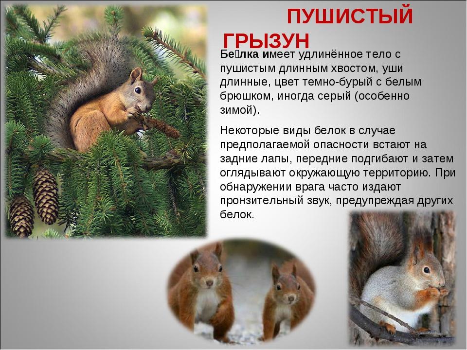 Бе́лка имеет удлинённое тело с пушистым длинным хвостом, уши длинные, цвет те...