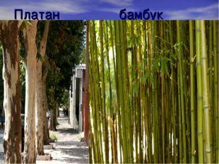 Платан бамбук