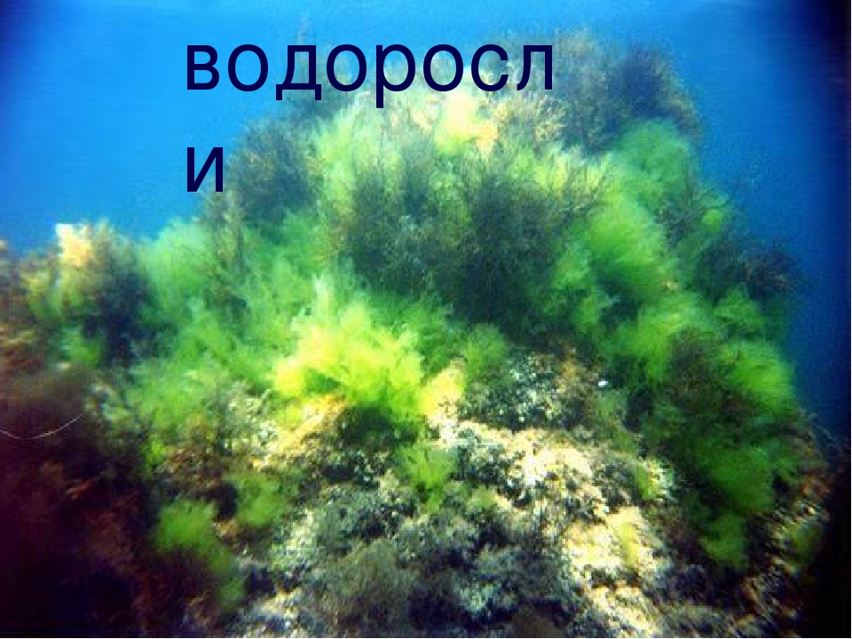 Растения водоросли