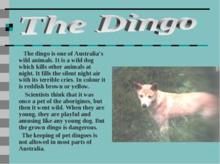 The dingo is one of Australia's wild animals. It is a wild dog which kills o