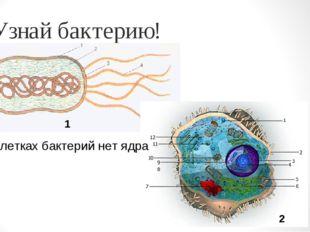Узнай бактерию! В клетках бактерий нет ядра