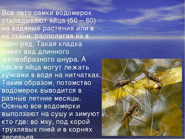 Все лето самки водомерок откладывают яйца (50 – 60) на водяные растения или в...