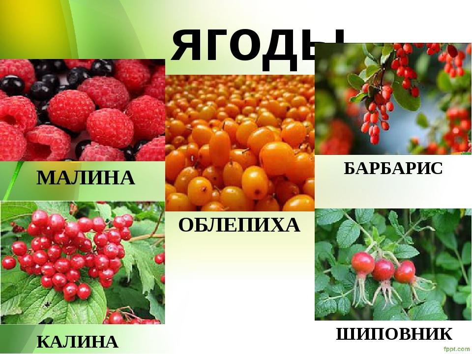 ягоды МАЛИНА БАРБАРИС ШИПОВНИК КАЛИНА ОБЛЕПИХА