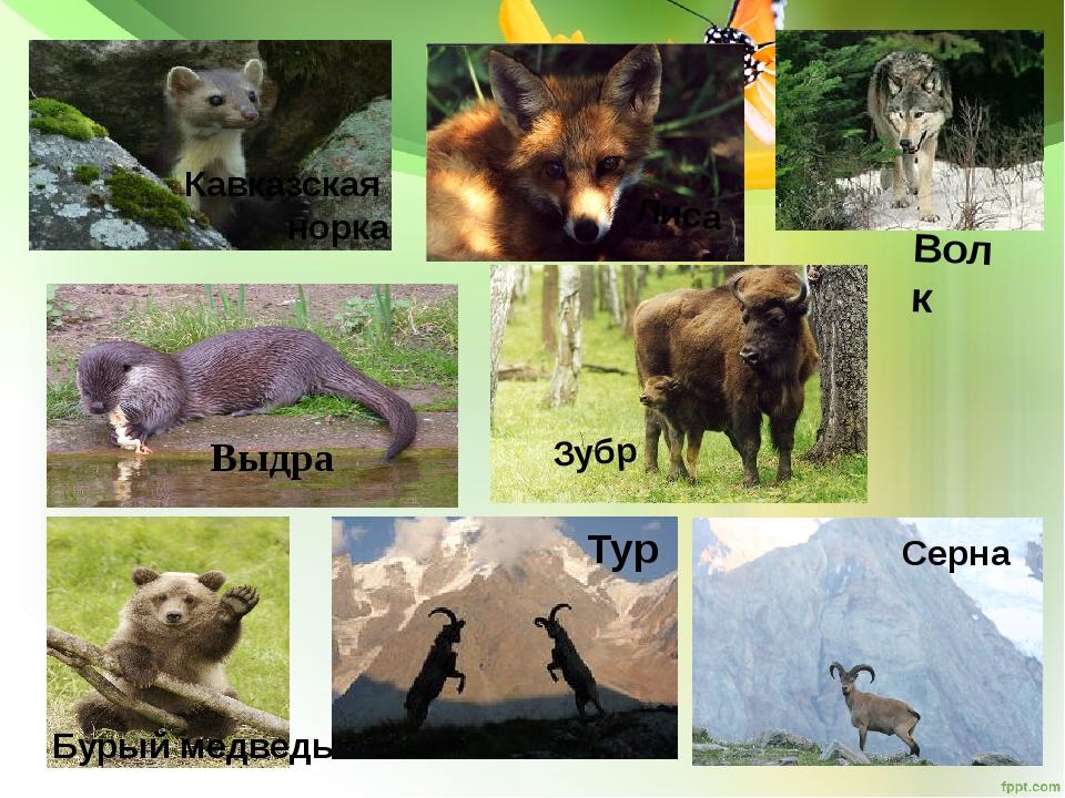 Кавказская норка Лиса Волк Тур Зубр Серна Бурый медведь Выдра