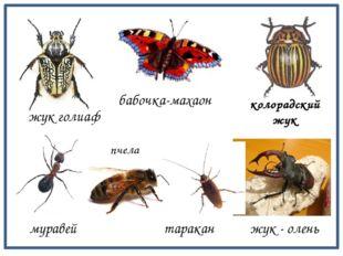 жук - олень муравей таракан жук голиаф колорадский жук бабочка-махаон пчела