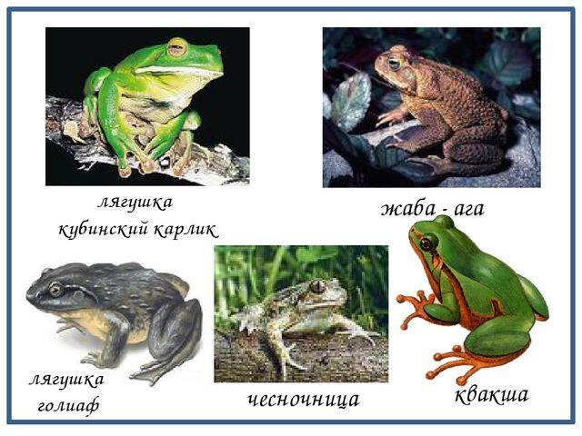 лягушка кубинский карлик жаба - ага лягушка голиаф чесночница квакша