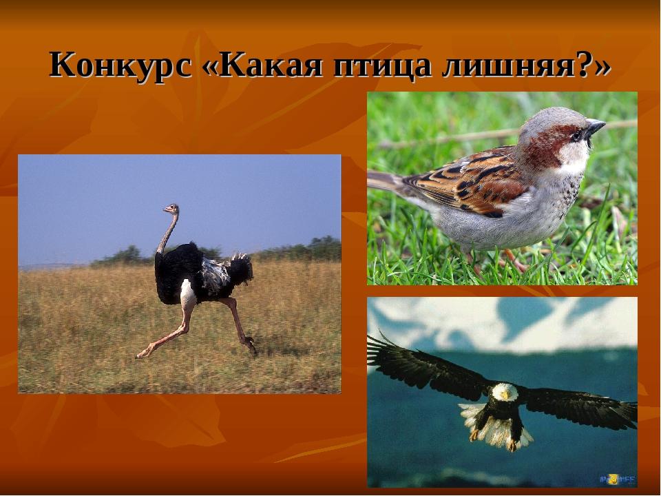 Конкурс «Какая птица лишняя?»
