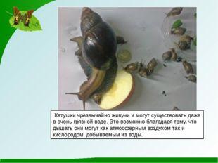 Катушкичрезвычайно живучи и могут существовать даже в очень грязной воде. Э