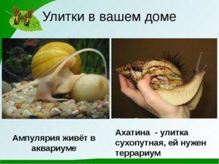 Улитки в вашем доме Ампулярия живёт в аквариуме Ахатина - улитка сухопутная,