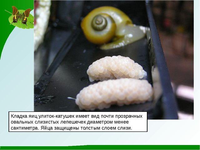 Кладка яиц улиток-катушек имеет вид почти прозрачных овальных слизистых лепеш...