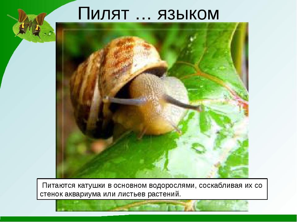 Пилят … языком Питаются катушки в основном водорослями, соскабливая их со ст...