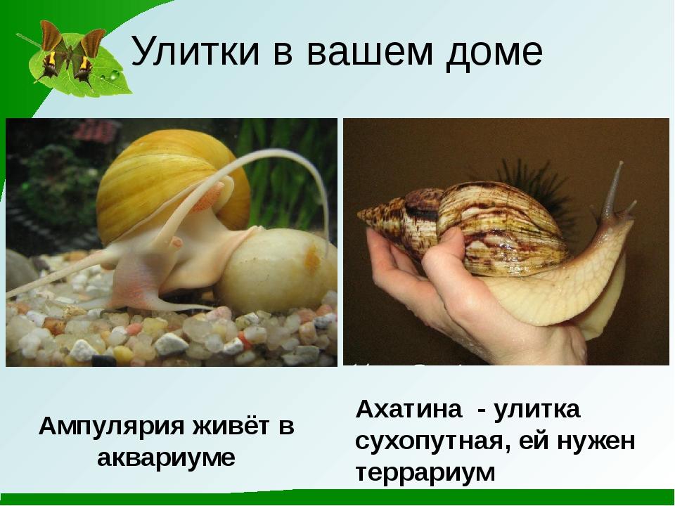 Улитки в вашем доме Ампулярия живёт в аквариуме Ахатина - улитка сухопутная,...