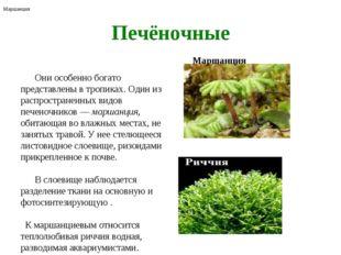 Печёночные Они особенно богато представлены в тропиках. Один из распростране