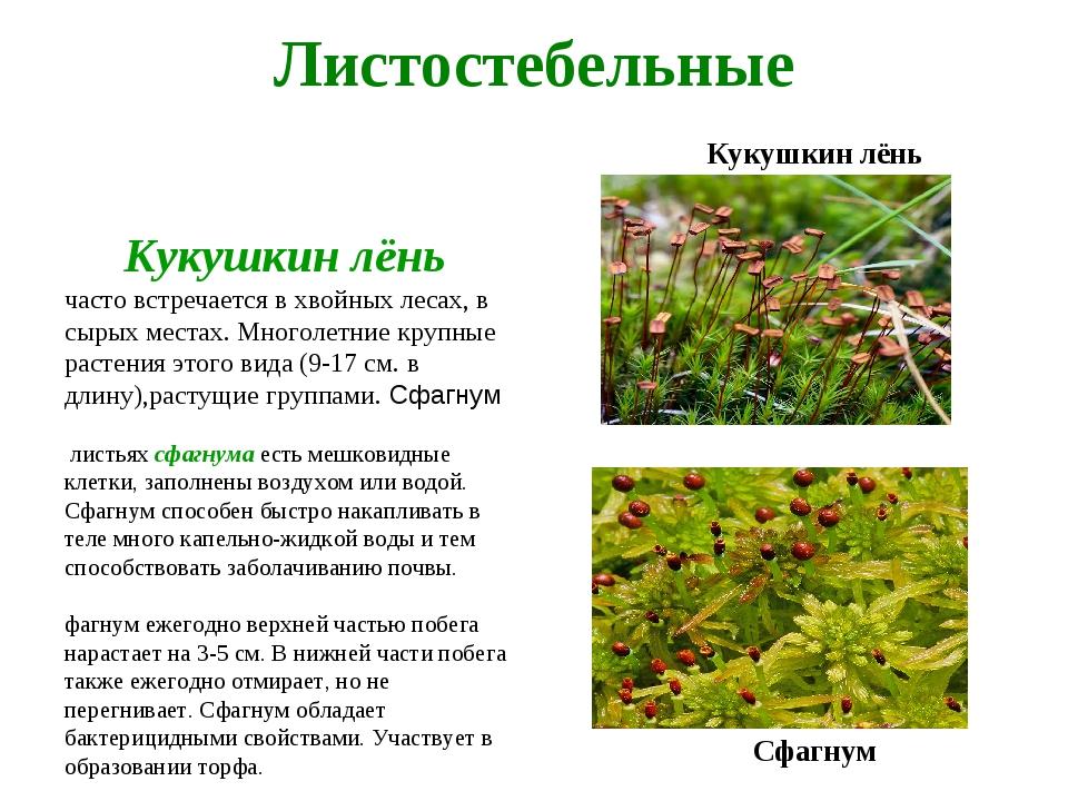 Листостебельные Кукушкин лёнь Кукушкин лёнь часто встречается в хвойных леса...