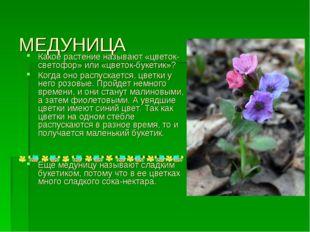 МЕДУНИЦА Какое растение называют «цветок-светофор» или «цветок-букетик»? Когд