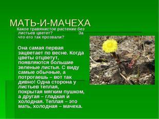 МАТЬ-И-МАЧЕХА Какое травянистое растение без листьев цветет? За что его так п