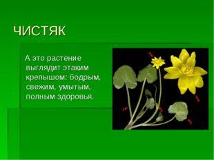 ЧИСТЯК А это растение выглядит этаким крепышом: бодрым, свежим, умытым, полны