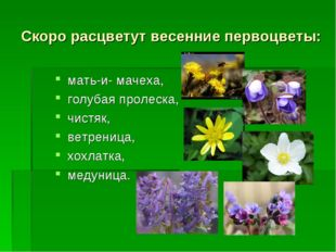 Скоро расцветут весенние первоцветы: мать-и- мачеха, голубая пролеска, чистяк