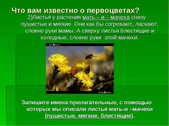Что вам известно о первоцветах? 2)Листья у растения мать – и – мачеха снизу п...