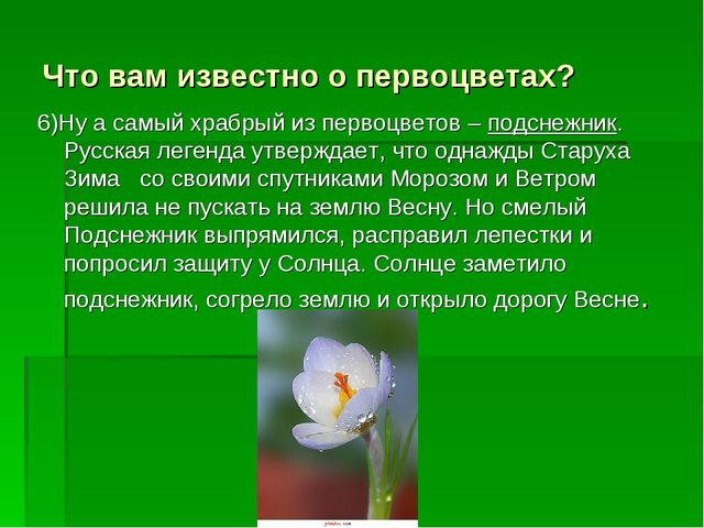 Что вам известно о первоцветах? 6)Ну а самый храбрый из первоцветов – подснеж...