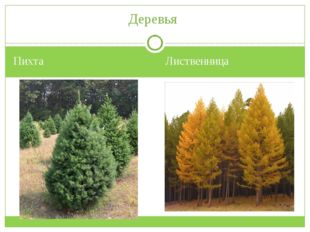 Пихта Лиственница Деревья