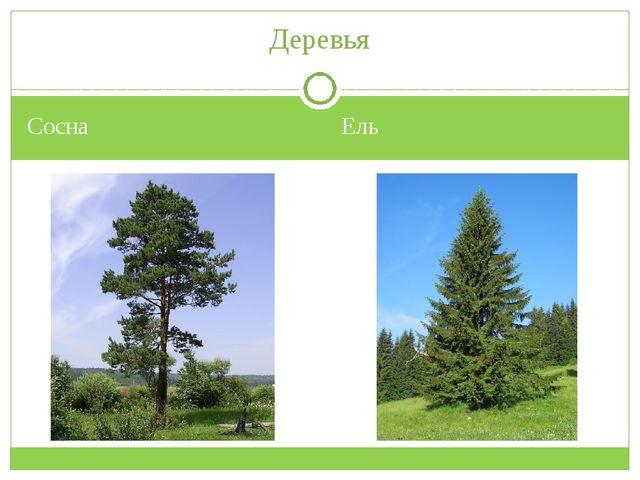 Сосна Ель Деревья