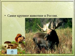 Самое крупное животное в России.