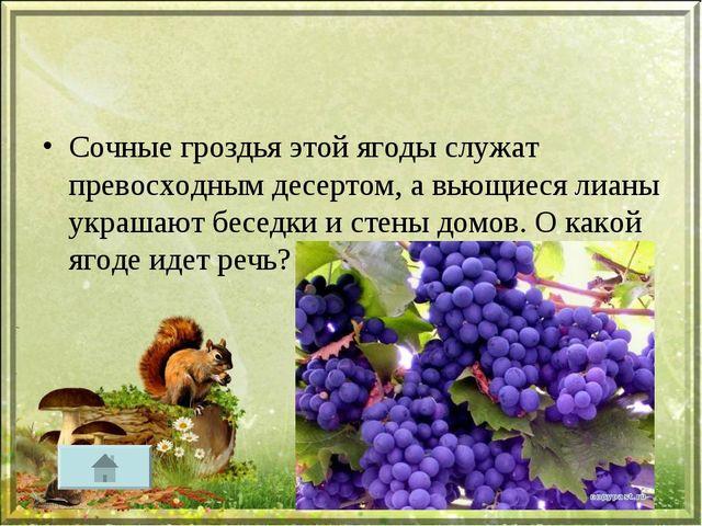 Сочные гроздья этой ягоды служат превосходным десертом, а вьющиеся лианы укра...