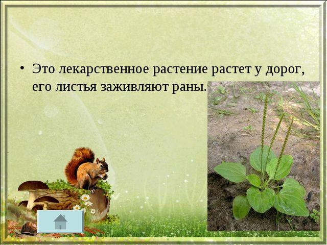 Это лекарственное растение растет у дорог, его листья заживляют раны.