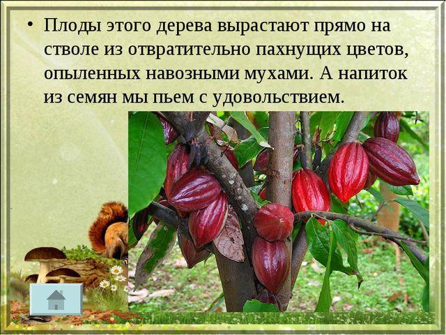 Плоды этого дерева вырастают прямо на стволе из отвратительно пахнущих цветов...