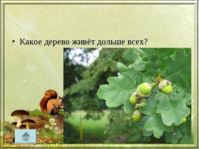 Какое дерево живёт дольше всех?